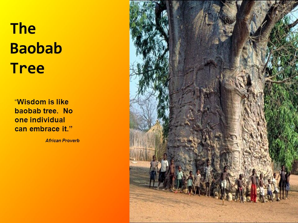 The Baobab Tree Wisdom is like baobab tree. No one individual can embrace it. African Proverb