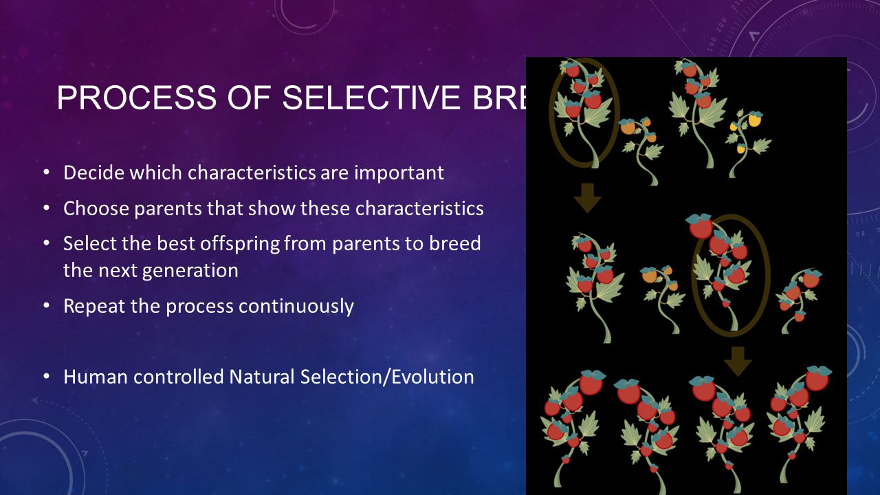 Process of Selective Breeding
