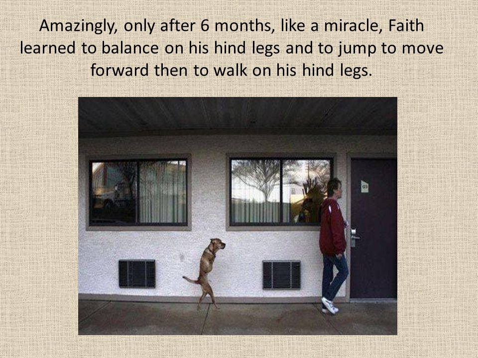Amazingly, only after 6 months, like a miracle, Faith learned to balance on his hind legs and to jump to move forward then to walk on his hind legs.