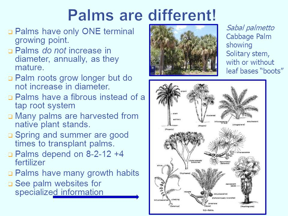 Palms are different! Palms have only ONE terminal growing point.