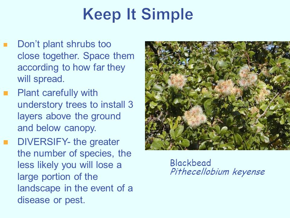 Keep It Simple Don't plant shrubs too close together. Space them according to how far they will spread.
