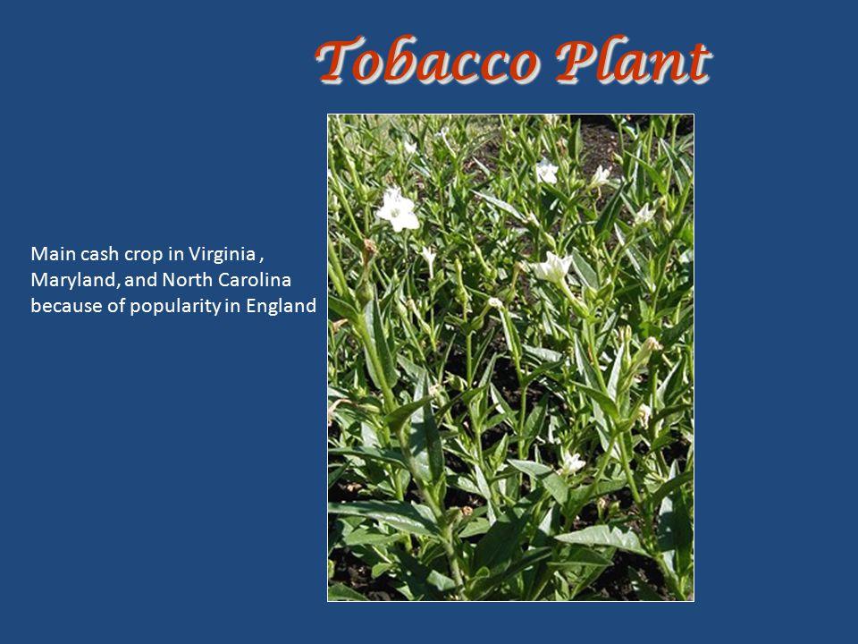 Tobacco Plant Main cash crop in Virginia ,