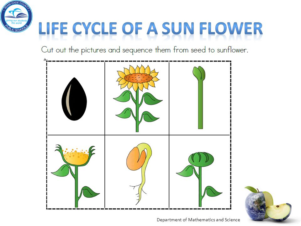 Life cycle of a sun flower