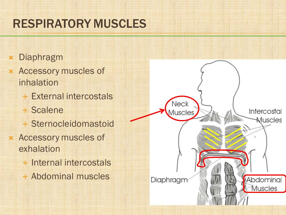 Respiratory Muscles Diaphragm Accessory muscles of inhalation