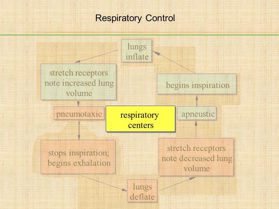 Respiratory Control lungs inflate stretch receptors