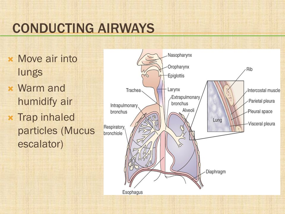 Conducting Airways Move air into lungs Warm and humidify air