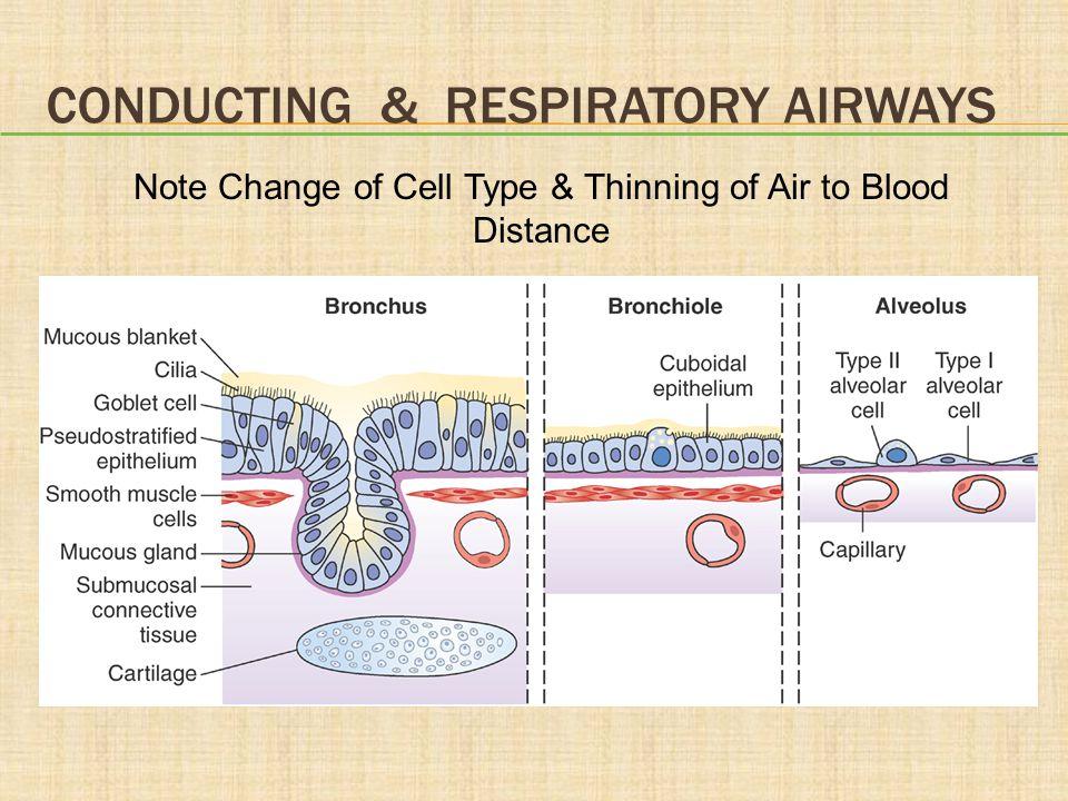Conducting & respiratory Airways