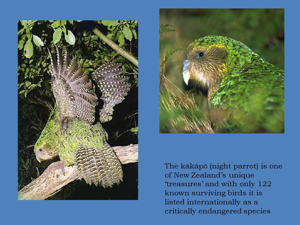 The kākāpō (night parrot) is one of New Zealand's unique 'treasures' and with only 122 known surviving birds it is listed internationally as a critically endangered species