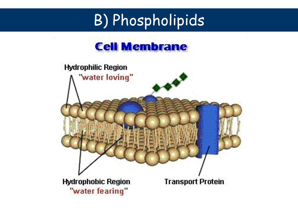 B) Phospholipids