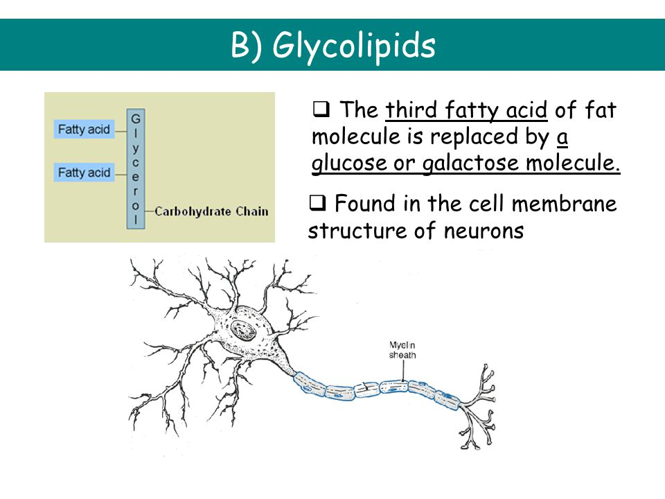 B) Glycolipids The third fatty acid of fat molecule is replaced by a glucose or galactose molecule.