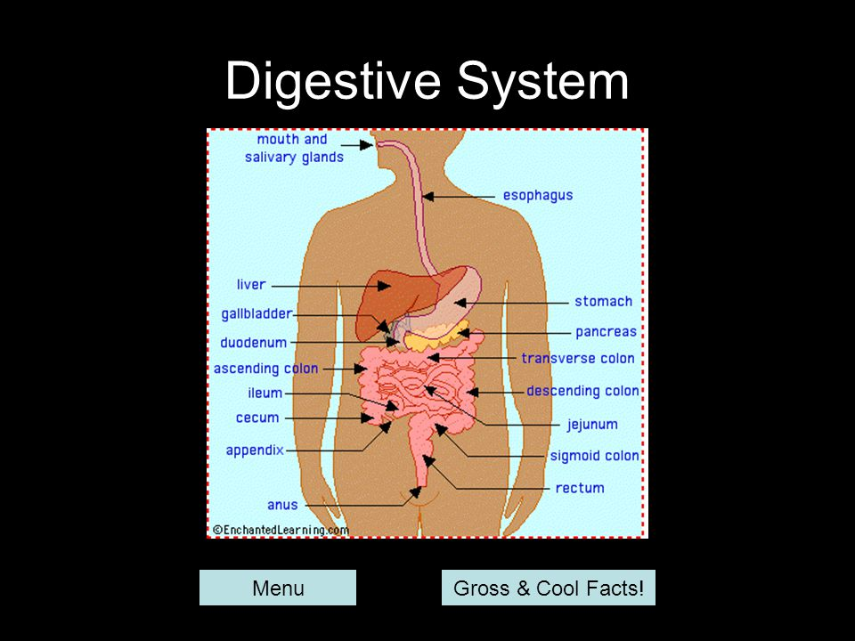 Digestive System Menu Gross & Cool Facts!