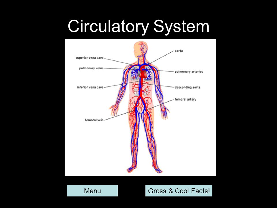 Circulatory System Menu Gross & Cool Facts!