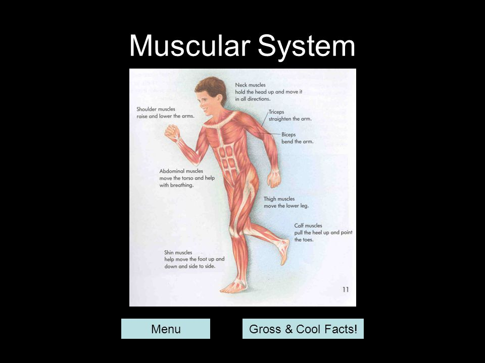Muscular System Menu Gross & Cool Facts!