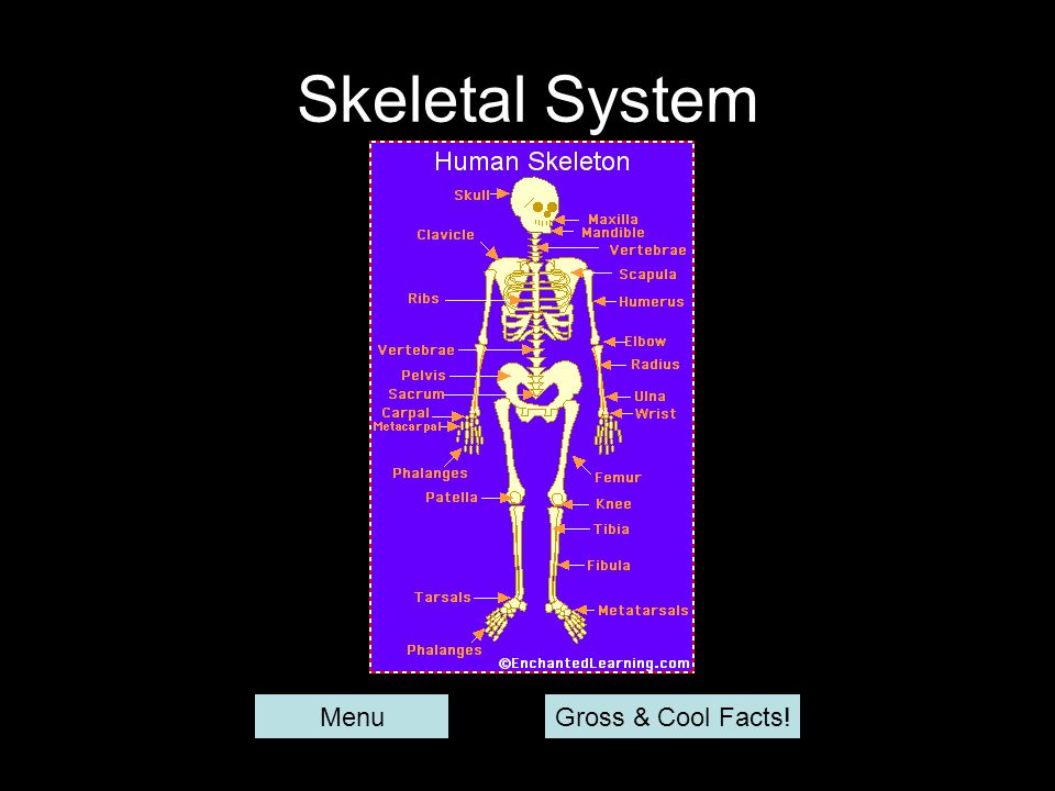 Skeletal System Menu Gross & Cool Facts!