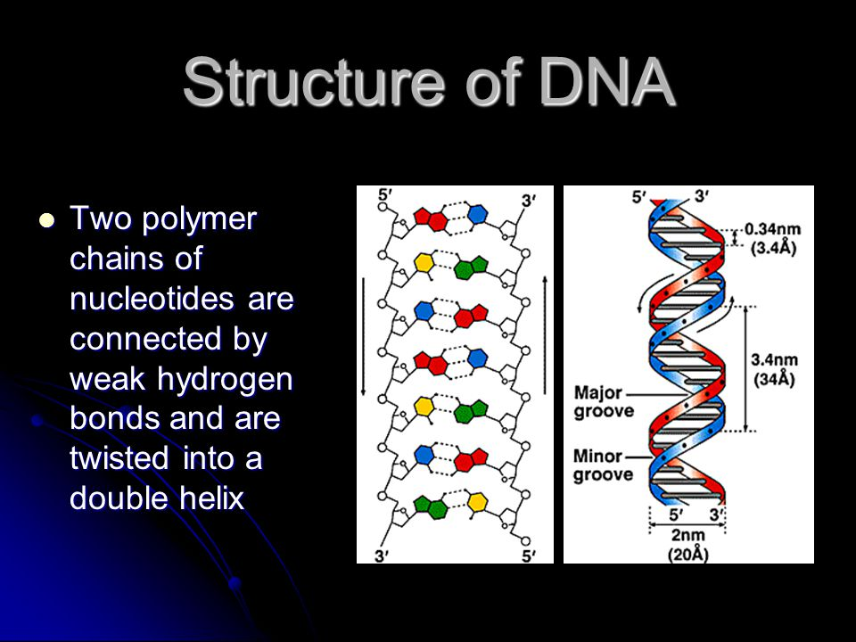 Structure of DNA Two polymer chains of nucleotides are connected by weak hydrogen bonds and are twisted into a double helix.