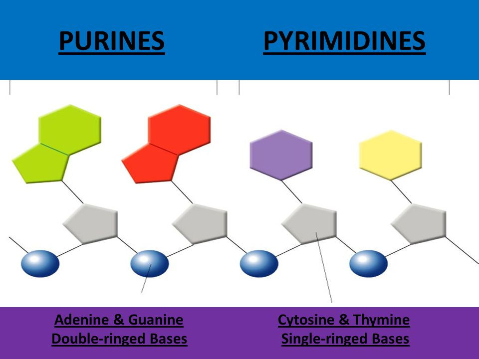 PURINES PYRIMIDINES Double-ringed Bases Cytosine & Thymine