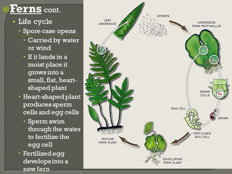 Vascular Plants Ferns cont. Life cycle Spore case opens