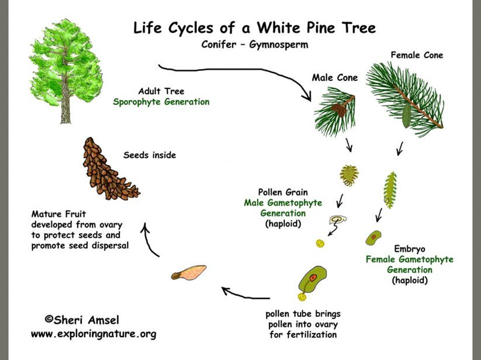 Vascular Plants Conifers: Some conifers don't have cones