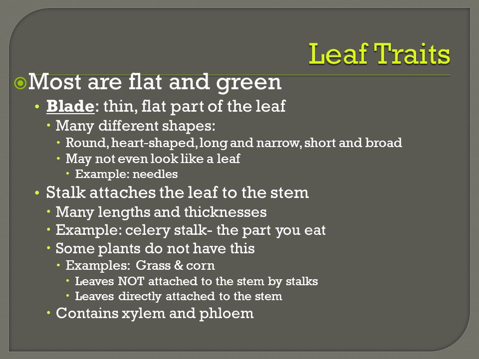 Leaf Traits Most are flat and green Blade: thin, flat part of the leaf
