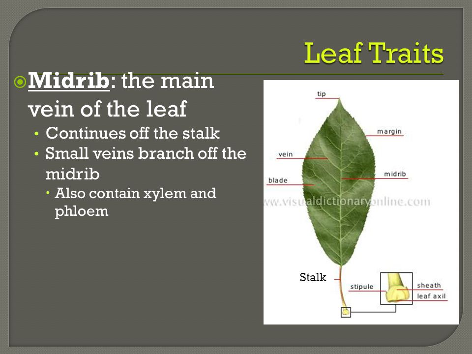 Leaf Traits Midrib: the main vein of the leaf Continues off the stalk