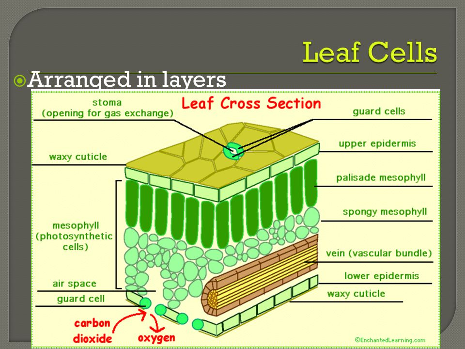 Leaf Cells Arranged in layers