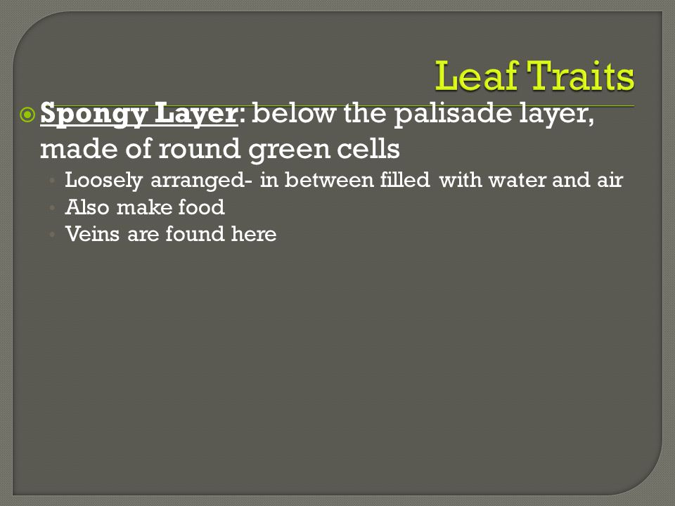 Leaf Traits Spongy Layer: below the palisade layer, made of round green cells. Loosely arranged- in between filled with water and air.