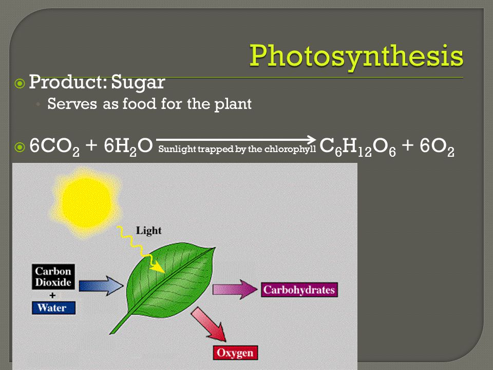 Photosynthesis Product: Sugar