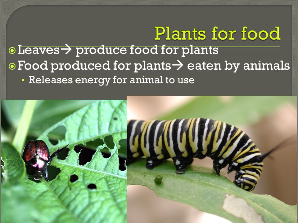 Plants for food Leaves produce food for plants