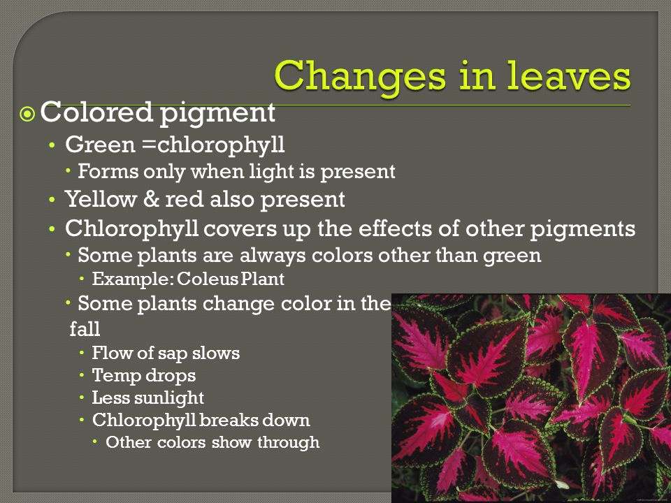 Changes in leaves Colored pigment Green =chlorophyll