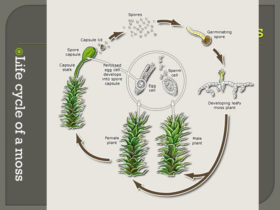 Nonvascular Plants Hair like structures Life cycle of a moss
