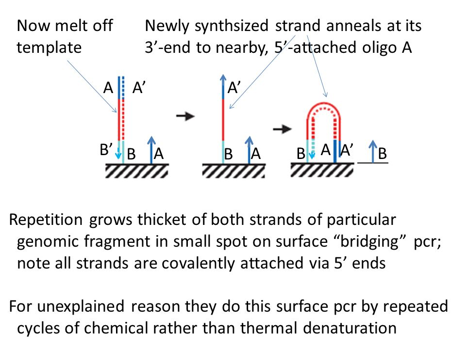 Now melt off template. Newly synthsized strand anneals at its. 3'-end to nearby, 5'-attached oligo A.