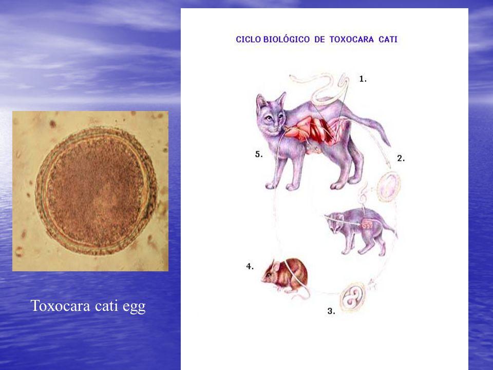 Toxocara cati egg