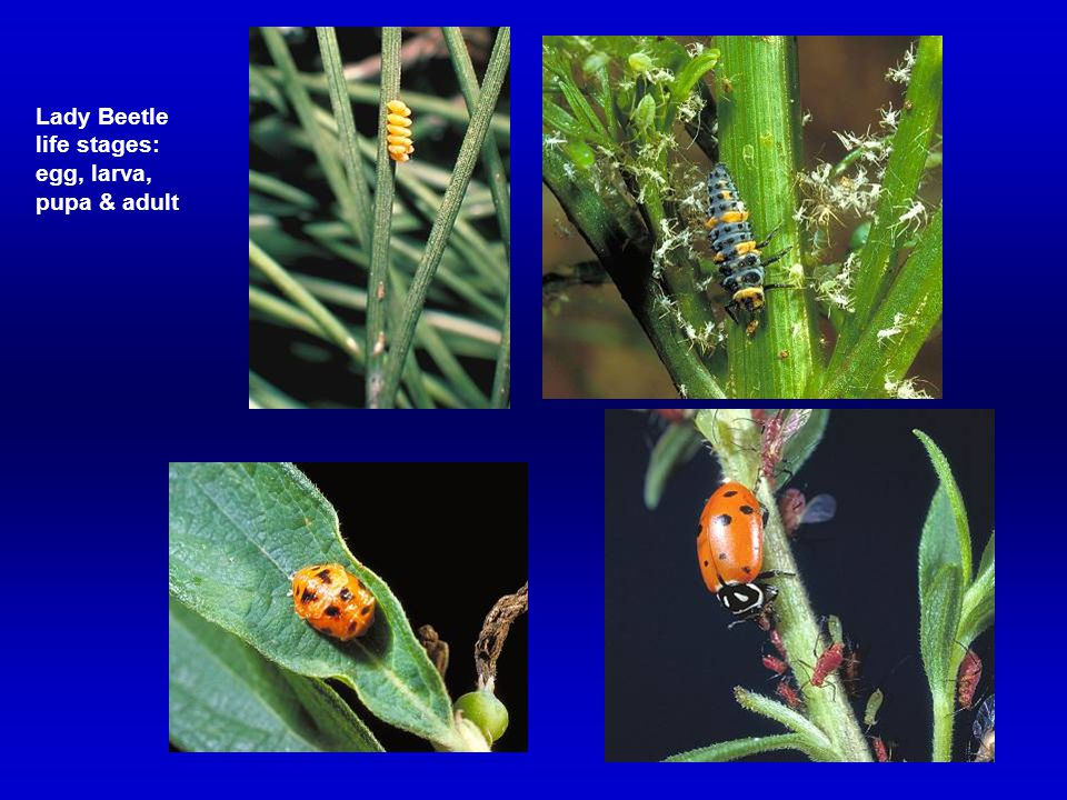 Lady Beetle life stages: egg, larva, pupa & adult