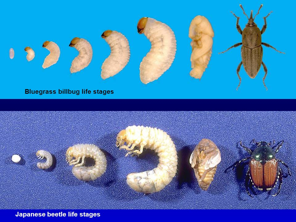 Bluegrass billbug life stages