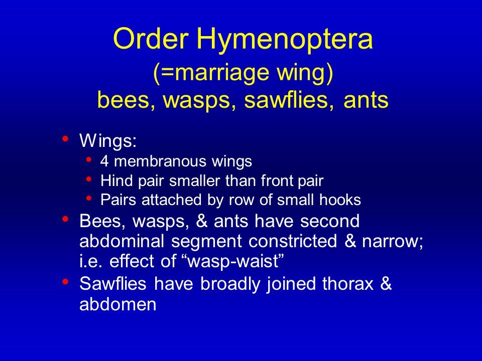 Order Hymenoptera (=marriage wing) bees, wasps, sawflies, ants