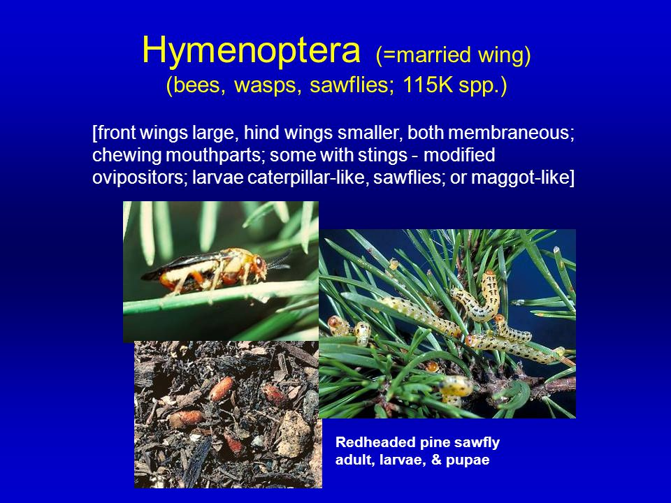 Hymenoptera (=married wing)