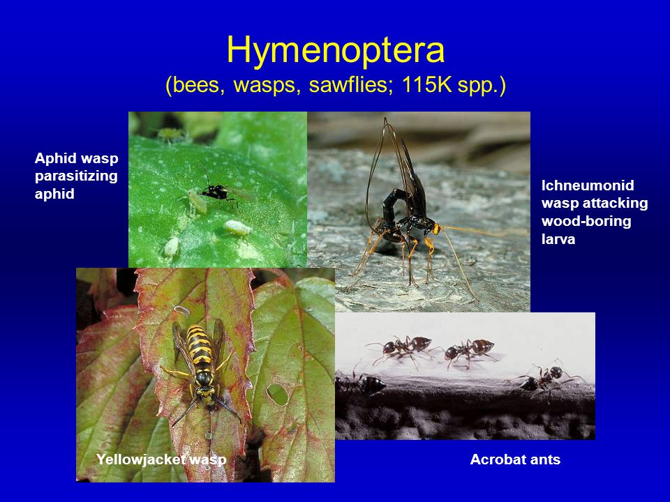 (bees, wasps, sawflies; 115K spp.)