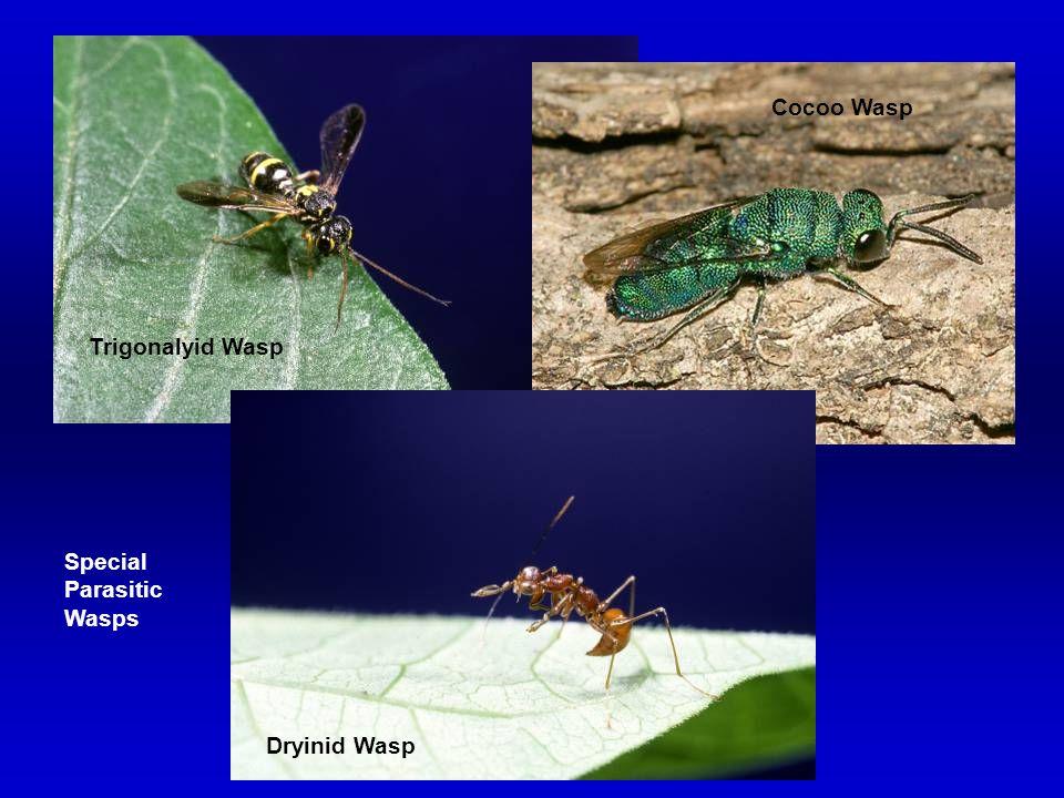 Cocoo Wasp Trigonalyid Wasp Special Parasitic Wasps Dryinid Wasp