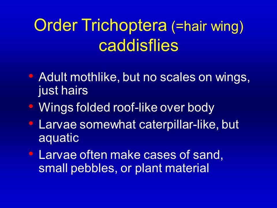 Order Trichoptera (=hair wing) caddisflies