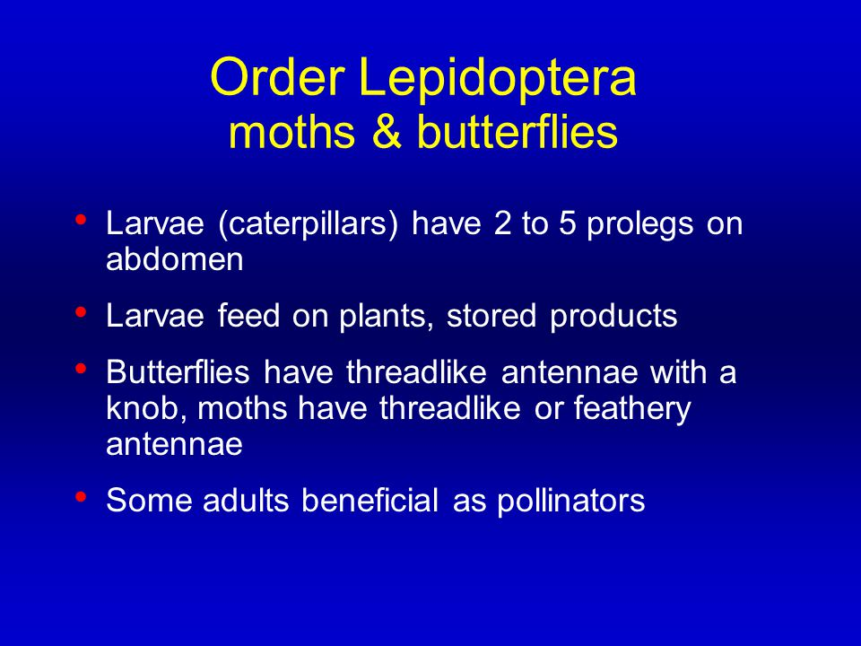 Order Lepidoptera moths & butterflies