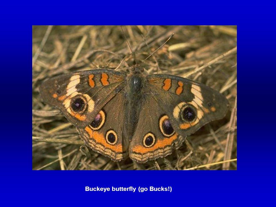 Buckeye butterfly (go Bucks!)