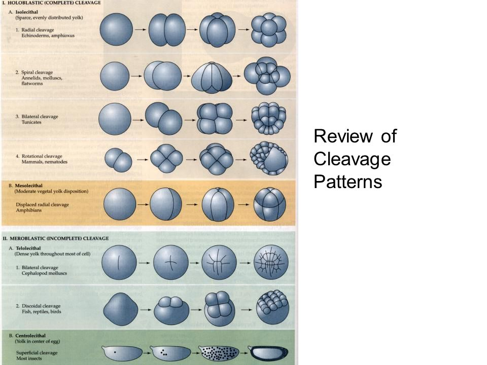 Review of Cleavage Patterns