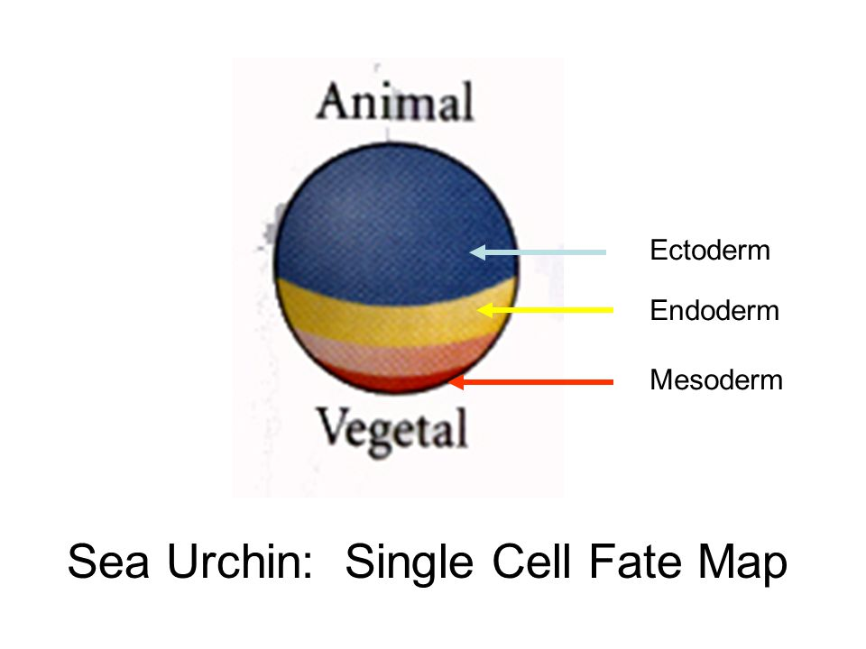 Sea Urchin: Single Cell Fate Map