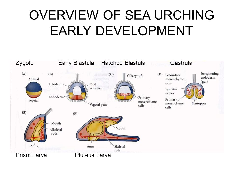 OVERVIEW OF SEA URCHING EARLY DEVELOPMENT