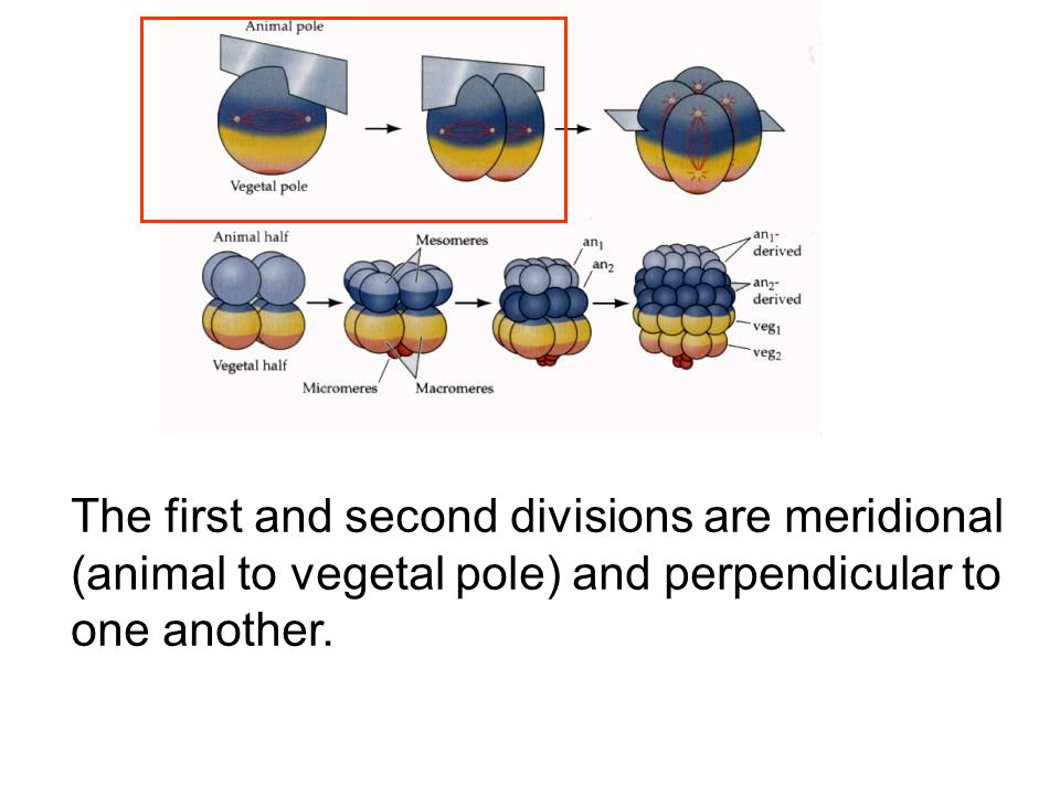 The first and second divisions are meridional (animal to vegetal pole) and perpendicular to one another.