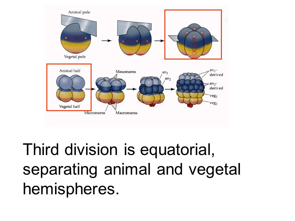 Third division is equatorial, separating animal and vegetal hemispheres.