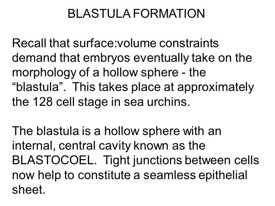 BLASTULA FORMATION