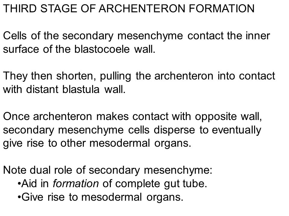 THIRD STAGE OF ARCHENTERON FORMATION