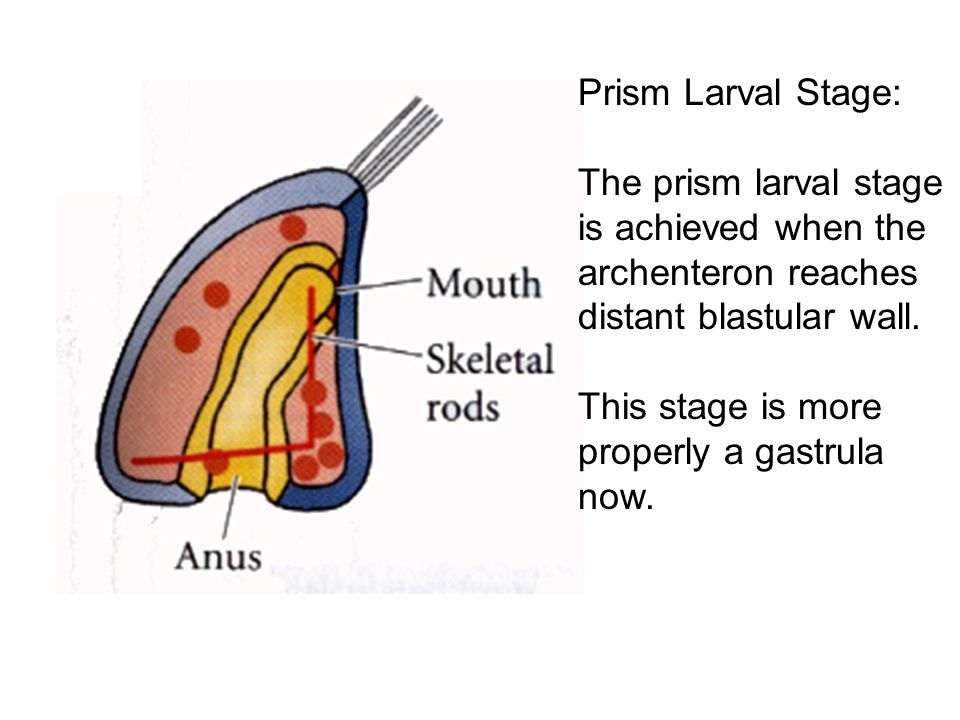 Prism Larval Stage: The prism larval stage is achieved when the archenteron reaches distant blastular wall.