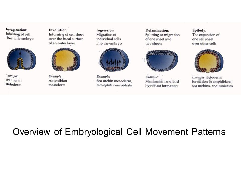 Overview of Embryological Cell Movement Patterns